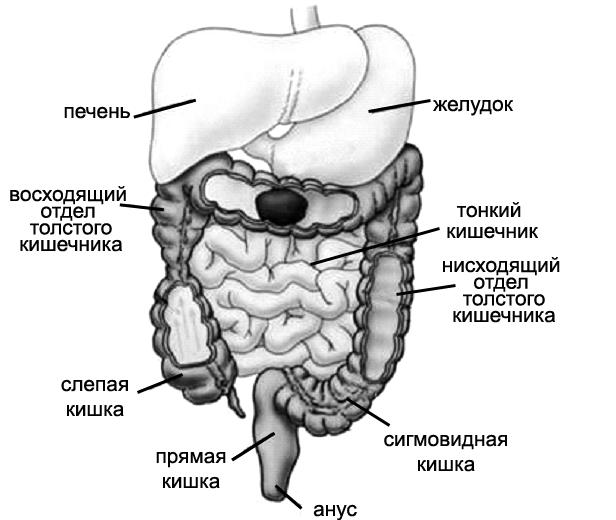 Желудочно–кишечный тракт