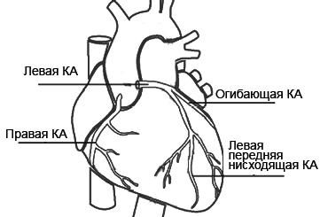 Расположение коронарных артерий сердца