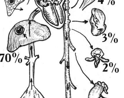 Частота заболевания эхинококком по органам и тканям