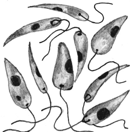 Возбудители лейшманий под микроскопом