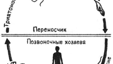 Жизненные циклы трипаносом