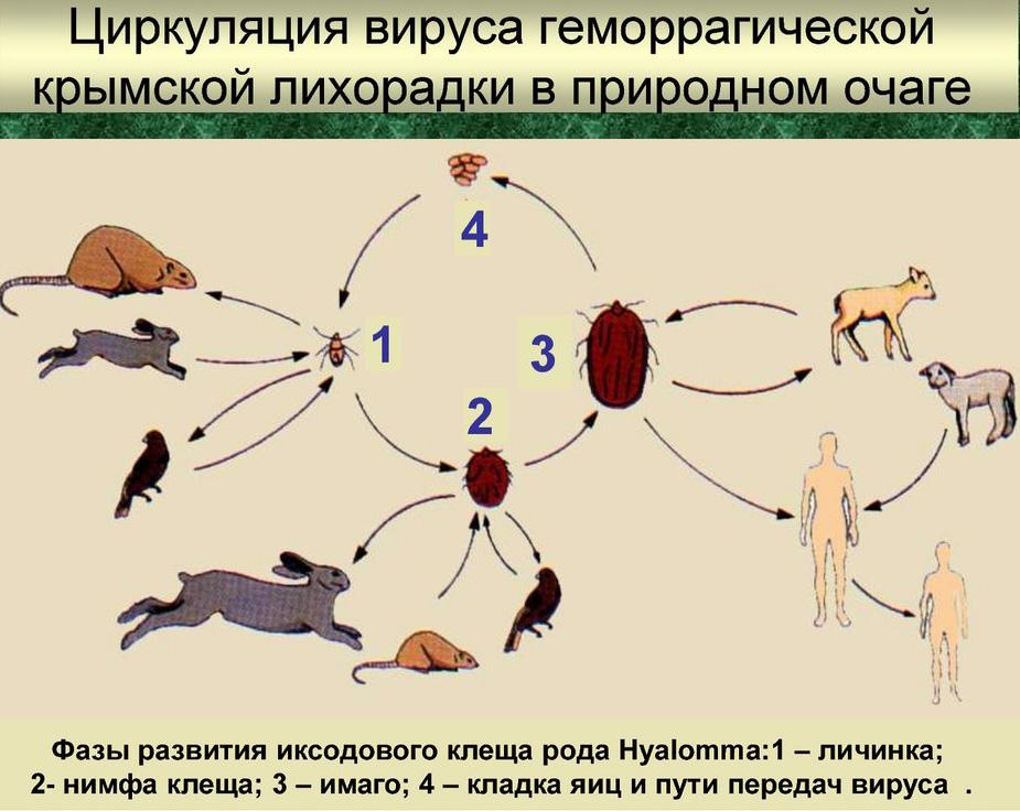 Геморрагическая конго-крымская лихорадка