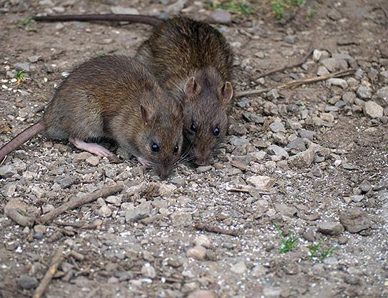 Эндемический тиф (крысиный тиф)